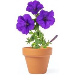 Petunia Planting Pot